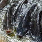 Fakta Menarik Ikan Talapia