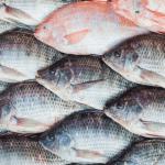Asal Usul Ikan Talapia