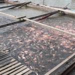 Penternakan Ikan Talapia