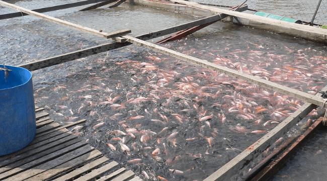 7 Langkah Untuk Memulakan Penternakan Ikan Talapia